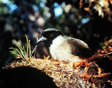 Image of a Black-faced Honeycreeper bird that is extinct