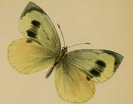 Image of The Madeiran Large White Butterfly