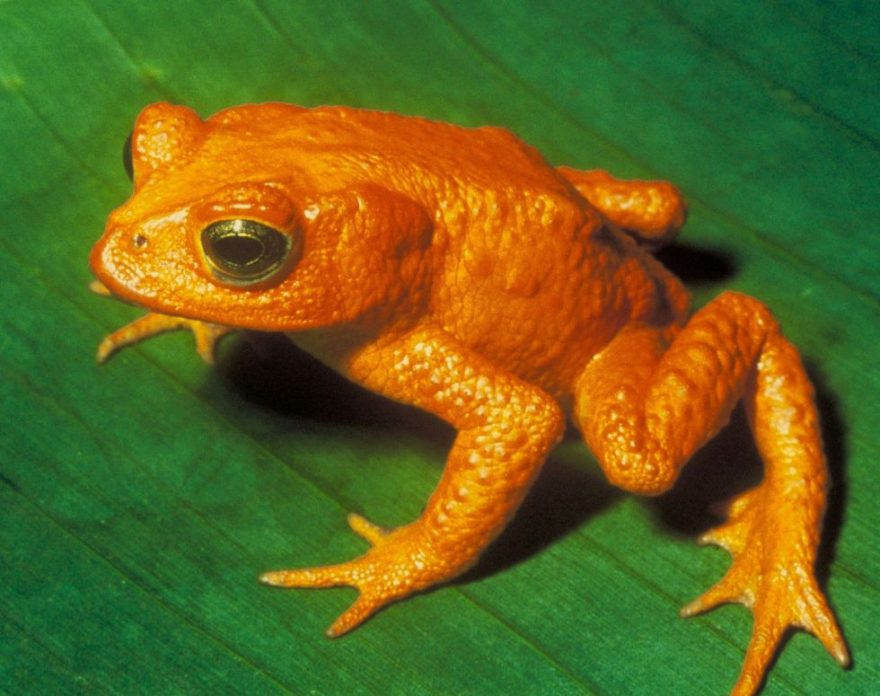 Image of Golden Toad from the Amazon